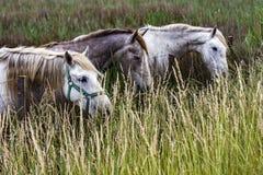 Франция - Camargue - дикие лошади стоковое фото rf