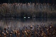 Франция, Mougin, Провансаль, заплывание утки в пруде на заходе солнца, amo стоковая фотография