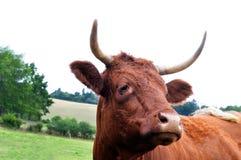 Французская корова Auvergne горы Стоковое Изображение