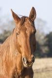 Французская лошадь Стоковое Фото