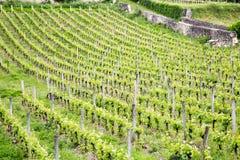 Французские виноградники Стоковое Изображение RF