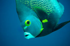 Французские рыбы ангела Стоковое Фото