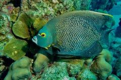 Французские рыбы угла стоковые фотографии rf
