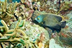 Французские рыбы угла стоковые изображения rf