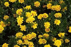 Французские цветки Стоковые Фото