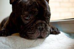 французский бульдог на таблице, подготавливает для клиппирования ногтя уход за животными, концепция маникюра собаки стоковое фото