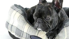 Французский бульдог спать в кровати видеоматериал