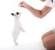 Французский бульдог щенка получая изолированное обслуживание, стоковое фото