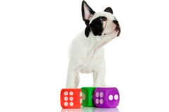Французский бульдог с dices изолированный на белой предпосылке играя собаку Стоковая Фотография