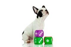 Французский бульдог с dices изолированный на белых игрушках собаки предпосылки Стоковая Фотография RF