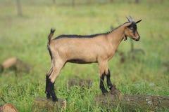 Французский высокогорный ребенк козы Стоковое Изображение RF