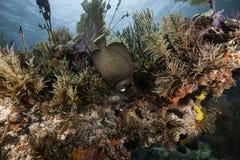 Французский Angelfish на коралловом рифе Стоковые Изображения RF