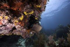 Французский Angelfish на коралловом рифе Стоковая Фотография RF
