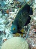 франчуз рыб ангела Стоковые Изображения RF
