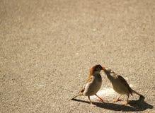 франчуз целуя воробьев Стоковая Фотография RF