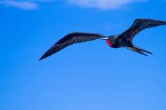 фрегат galapagos стоковое изображение