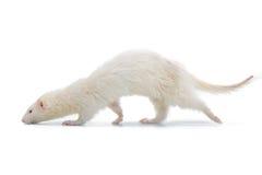 Фретка альбиноса Стоковая Фотография