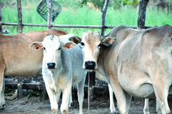 Фронт 2 коров Стоковая Фотография