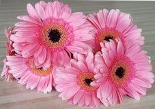 Фронт розовых gerberras Стоковая Фотография