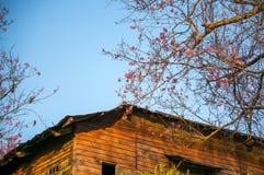 Фронт Сакуры крыша Вишневый цвет в весеннем времени Стоковое Изображение RF
