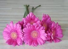 Фронт темных розовых gerberras Стоковые Фото