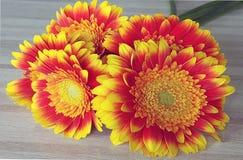 Фронт gerberras оранжевого желтого цвета Стоковые Изображения RF