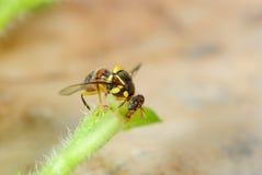 Фруктовая муха Стоковое Изображение