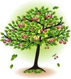 фруктовое дерев дерево вишни Стоковые Изображения RF