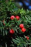 фруктовое дерев дерево ели стоковое изображение