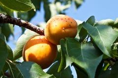 фруктовое дерев дерево абрикоса Стоковые Изображения RF