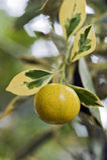 Фруктовое дерев дерево кумкватов очень оцененное в садовничать стоковые изображения rf