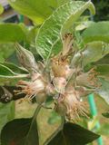 Фруктовое дерев дерево цветка цветения budd яблони Стоковые Фото
