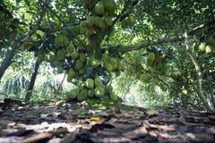 Фруктовое дерев дерево Mit Quả MÃt Trai джекфрута Вьетнама Стоковая Фотография