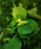 Фундуки на дереве стоковая фотография rf