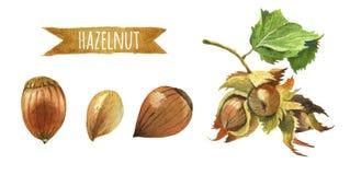 Фундуки с листьями, иллюстрацией акварели с Пэт клиппирования Стоковые Изображения