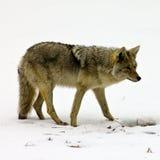 фуражировать еды койота уединённый Стоковые Фотографии RF