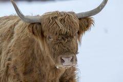 Фуражировать коровы гористой местности, Тавра быка, coo, скотин, молодых и женских в снеге покрыл поле внутри национальный парк c Стоковые Изображения