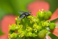 Фуражировать мухы Стоковые Фотографии RF