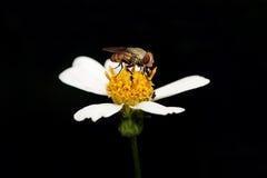Фуражировать мухы Стоковое Изображение RF