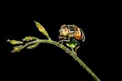 Фуражировать мухы Стоковое Фото