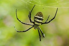 Фуражировать тарантула Стоковые Фотографии RF