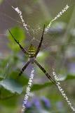Фуражировать тарантула Стоковые Изображения