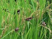 Фуражировать Munia риса зрелый бело--rumped Стоковые Изображения RF