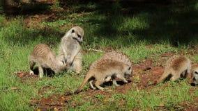 Фуражируя семья meerkat акции видеоматериалы