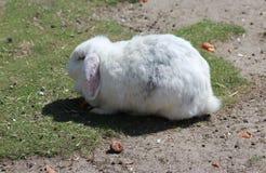 фламандский гигантский кролик стоковые фотографии rf