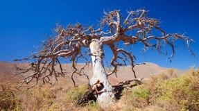 Фламенко и мертвое дерево Стоковые Изображения