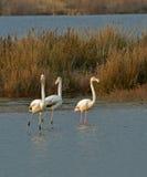 Фламингоы на заходе солнца Стоковая Фотография RF