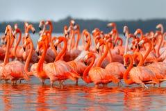 фламингоы более большие Стоковое фото RF