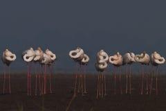 фламингоы более большие Стоковое Изображение RF