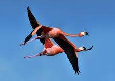 фламингоы фламингоа затора летая озеро Стоковое Фото
